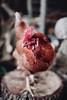 @coyotelick (coyote lick) Tags: 35mm film photography animals cute farm chicken hen bokeh outdoors rustic portrait pet bird birds cockerel beautiful ornithology filmphotography sigma art nikon f14 vegan vegetarian cowspiracy forks over knives