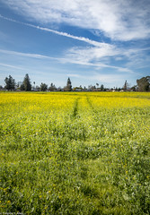 Yellow Blooms (allentimothy1947) Tags: california santaroaa argiculture blue field flower growth mustard orange plants spring yellow sonomacounty sky clouds blossoms tree building track landscape photography timothysallen beautiful beauty green