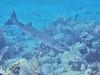 Great Barracuda (Jwaan) Tags: mermaidtail barracuda great fish underwater bvi britishvirginislands westindies caribbean ocean teeth long grey gray
