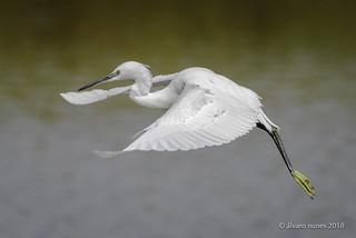 Garça-branca-pequena | Little egret | Egretta garzetta