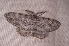 Aschgrauer Rindenspanner (planetvielfalt) Tags: auenwald ennominae geometridae lepidoptera schkeuditz sachsen deutschland