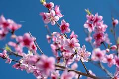 _HA82537_25 (Ngô Huy Hòa (hachi8)) Tags: hoađào đàorừng sapa