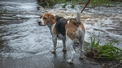 No Way (- Jan van Dijk -) Tags: beagle dog chien hund rain water creek beek perro hondje regen dogseyeview cane