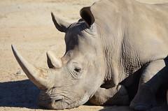 DSC_4337 (Andrew Nakamura) Tags: animal mammal rhino rhinoceros whiterhinoceros southernwhiterhinoceros southernwhiterhino lyingdown sleeping naptime sandiegozoosafaripark safaripark escondido