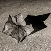 Dry petal. (ashleyjohnhale) Tags: compost pruning detail hydrangeapetal hydrangea greyscale blackandwhite shadows shadow driedflower driedflowers dryflower petal