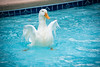 just keep swimming. (BSchwend1) Tags: duck white peking swimming flapping wings splash