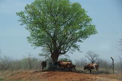 imgp1183 (Mr. Pi) Tags: farmanimals trees animals mammals cattle roadside dirtywindow southafrica