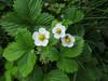 CKuchem-5868 (christine_kuchem) Tags: bienenweide blüte blüten bodendecker garten insekten nahrung natur naturgarten nektar pflanze privatgarten schatten schattengarten selbstaussaat sommer walderdbeere wildpflanze naturnah natürlich weis wild