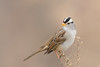 White-crowned Sparrow (Amy Hudechek Photography) Tags: white crowned sparrow winter amyhudechek