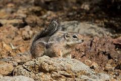 Harris Antelope Squirrel (Turk Images) Tags: ammospermophilusharrisii harrisantelopesquirrel saguaronationalparktucsonmountaindistrict arizona desert mammals sciuridae tucson winter