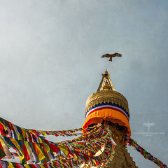 Asia / Nepal / Kathmandu / Boudhanath (Pablo A. Ferrari) Tags: pabloferrariart asia nepal kathmandu goat nature animal boudhanath night stars temple stupa templo khāsti boudhanathtemple cielo eagle flight wings alas ave bird aguila vuelo volando sky texture painterly