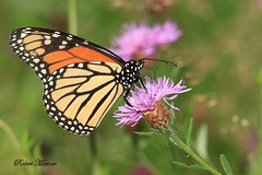 Monarch Butterfly (Bob the Birdman and All Around Nature Guy) Tags: monarchbutterfly danausplexippus robertmiesner bobthebirdman butterfly insect bug wildlife animal nature