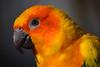@ Artis 27-03-2017 (Maxime de Boer) Tags: bird vogel natura artis magistra zoo amsterdam animals dieren dierentuin gods creation schepping creator schepper genesis zonparkiet