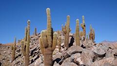 127 KaktusTal - cactus valley (roving_spirits) Tags: chile atacama atacamawüste atacamadesert desiertodeatacama désertcôtier küstenwüste desiertocostero coastaldesert