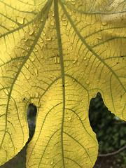 Leaf (skipmoore) Tags: leaf veins organic
