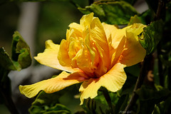Hibiskus gelb (Peter Goll thx for +6.000.000 views) Tags: 2014 mallorca urlaub hibiskus eibisch gelb yellow blume flower plant hibiscus