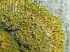 Xanthoria parietina on trunk (Philip_Goddard) Tags: lichens xanthoria orange fertile apothecia corticolous southwestengland england unitedkingdom britain british britishisles greatbritain uk europe
