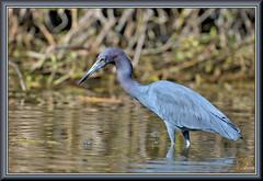 Bayou detective (WanaM3) Tags: wanam3 nikon d7100 nikond7100 texas pasadena clearlakecity horsepenbayou bayou outdoors nature wildlife canoeing paddling water animal bird heron littleblueheron