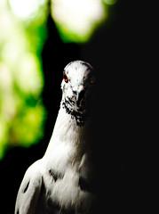 War pidgeon (syss3) Tags: war pidgeon bird birdphotography shadows edit lightroom natureandnothingelse birds nikkor nikon tamron bokeh