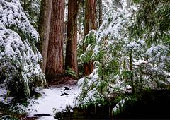 Old Growth Forest (rich trinter photos) Tags: mountrainier winter ashford washington unitedstates us landscape oldgrowth trinterphotos cedar fir