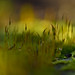 Moss with small dew drop