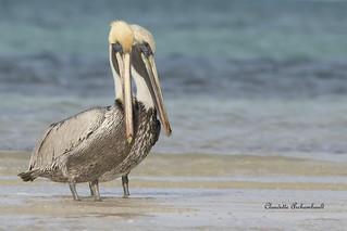 Pélican brun, Brown Pelican