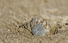 Krab komt uit zijn holletje aan ´t strand van Muscat (Oman) (Maarten Kroon @ shooting) Tags: krab crab beach strand oman muscat
