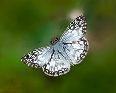 Alas abiertas (veltrahez) Tags: miami florida unitedstates us ngc olympus zuiko 60mm nature life butterfly