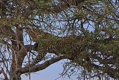 Hidden - 3091b (Teagden (Jen Hall)) Tags: leopard hiding hidden tree camouflage sunset predator jenniferhall jenhall jenhallphotography jenhallwildlifephotography wildlifephotography wildlife nature naturephotography photography nikon wild dkgrandsafaris safari safarisunday kenyasafari africasafari africansafari masai mara masaimara masaimarakenya kenya kenyawildlife kenyaafrica africa africanwildlife african africanphotography