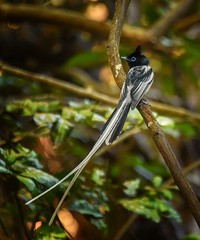 Paradise Flycatcher (Rod Waddington) Tags: africa afrique madagascar malagasy paradise flycatcher bird wildlife wild forest forrest tree outdoor nature
