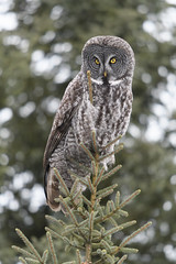 Tip Top (jrlarson67) Tags: great gray grey owl strix nebulosa chouette lapone saxzim bog mn minnesota