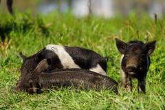 DSC07560.jpg (joe.spandrusyszyn) Tags: suidae circlebbarreserve hog vertebrate mammal sus polkcounty feralpig wildboar eventoedungulate susscrofa unitedstatesofamerica byjoespandrusyszyn pig florida animal lakeland nature artiodactyla