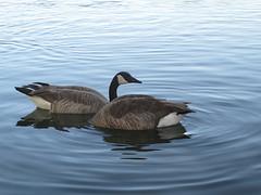 Geese (nohojim) Tags: water birds wildlife