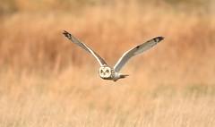SEO 120218 B 1S9A6831 (saundersfay) Tags: shortearedowl feathers raptor big eyes hares kestrel