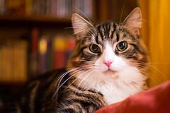 Benjie (nic_r) Tags: feline kitty animal nikon d500