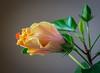 inner bloom (Pejasar) Tags: bloom blossom plant indoors hibiscus winter tulsa oklahoma