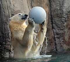 polarbear Blijdorp BB2A8704 (j.a.kok) Tags: ijsbeer polarbear blijdorp bear beer ursusmaritimus predator arctic noordpool northpole mammal animal zoogdier dier
