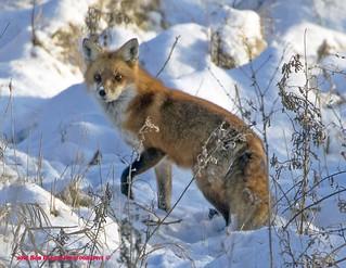 Red Fox. Vulpes vulpes