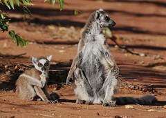 Ring-tailed Lemur Mother and Child (Lemur catta) (Susan Roehl) Tags: madagascar2017 islandofmadagascar offtheeastcoastofafrica berentyreserve ringtailedlemur lemurcatta youngster mother female animal mammal criticallyendangered largelemur strepsirrhineprimate lemuridaefamily endemic galleryforests spinyscrub southernregion maki omnivore highlyterritorial highlysocial femaledominantsociety diurnal sunbathe goodsenseofsmell scentmarking veryvocal onlyabout2000individuals habitatloss hunting poaching bushmeat highlyendangered ngc coth5