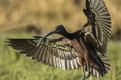 Glossy Ibis - Pick a feather! Any feather! (Ann and Chris) Tags: avian amazing bird beak close eyes feathers feather landing gorgeous phenomena stunning unusual vivid wildlife wings glossyibis glossy