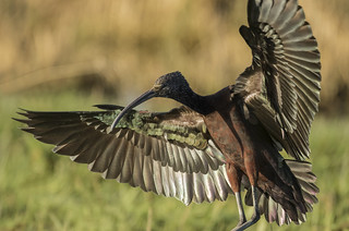 Glossy Ibis - Pick a feather! Any feather!