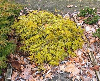Chamaecyparis obtusa ´Kamarachiba´; Cupressaceae (1)
