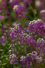 Alyssum (pstenzel71) Tags: blumen natur samyang135mmf20 samsungnx darktable alyssum flower bokeh