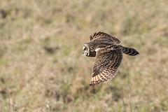 Short Eared Owl in flight (Photography by Ian Lewis) Tags: wild short eared owl seo nature outdoors raptor bif birdsinflight bop birdsofprey detail feathers wings bird animal flight