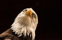 you can't make me look (jeff.white18) Tags: baldeagle eagle birdofprey eyes preditor raptor feathers portrait nature nikon bird beak flickr