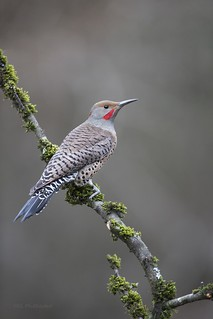 Red-shafted Northern Flicker