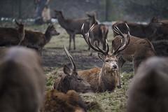 London: Bushy Park (ovofrito) Tags: london bushey park wildlife england uk richmond deer stag nature photography pack nikon iamnikon natureza royalparks hampton