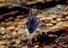 Ptenothrix sp.3 Very Dark specimen (Bugldy99) Tags: animal arthropod arthropoda hexapod hexapoda collembola springtail symphypleona macro macrocloseup