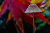 Tiny Mushroom (Vincent Ferguson) Tags: wild mushroom redcapped nature fungus botanical toadstoolbotanical outdoor poison red