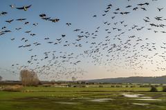 Flight (stevefge) Tags: 2017 hoogwater nijmegen waal flood winter landscape birds flock geese flight nederland netherlands nl nature natuur nederlandvandaag gelderland fields